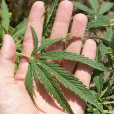 Marihuana400x400