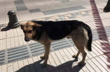La triste historia de Orejón, el famoso perro roba empanadas