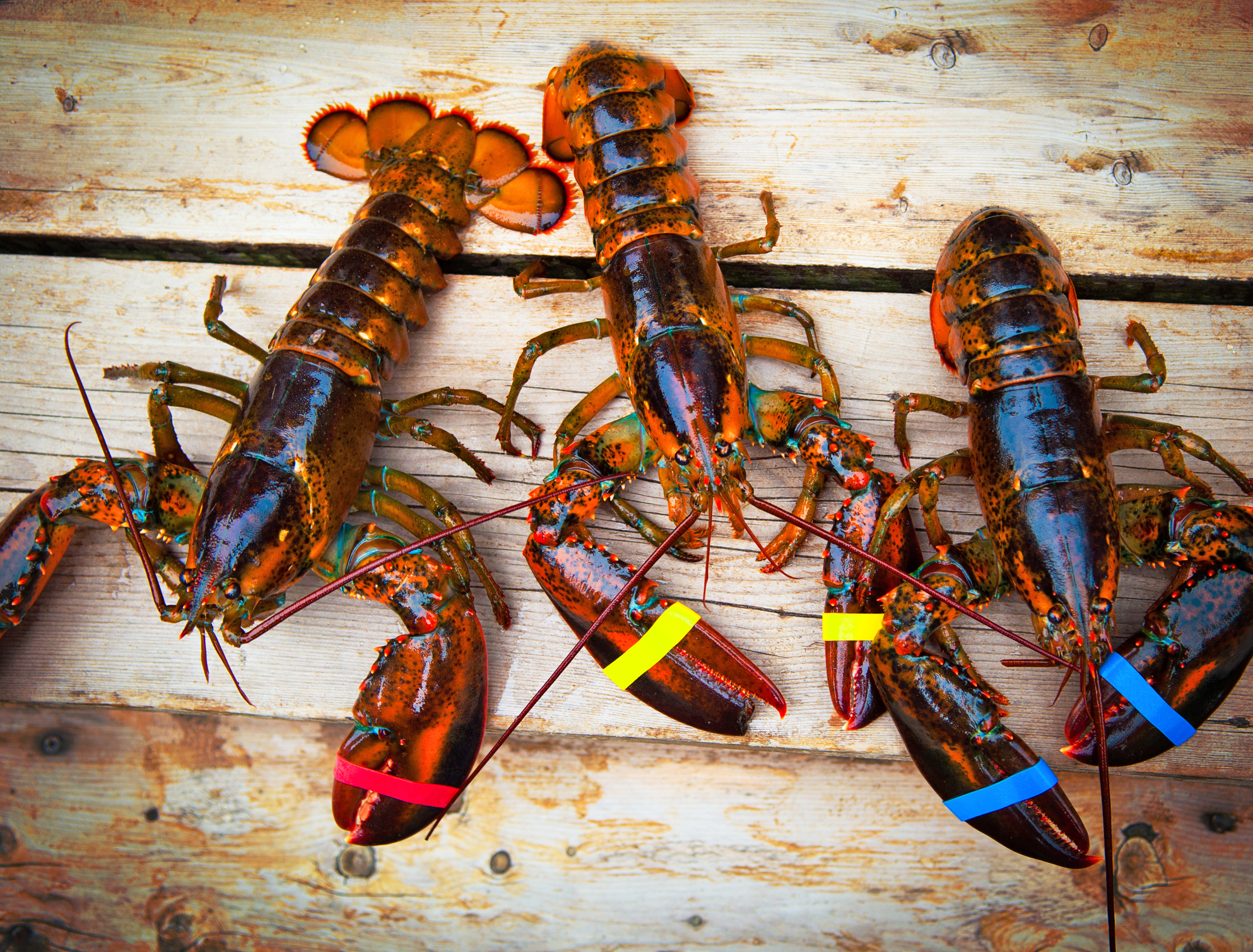 Preocupante: Pescan langosta con