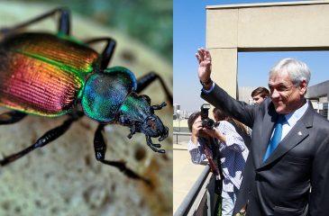Sebastián Piñera inspira nueva especie de escarabajo