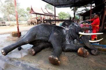 Tailandia: Celebraron el Día Nacional del Elefante con spa, masajes y buffet de frutas y verduras