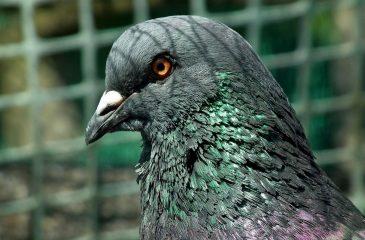 """La paloma """"borracha"""" fue elegida ave del año en Nueva Zelanda"""