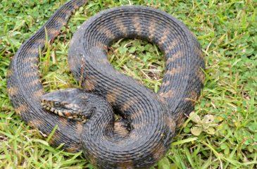 Serpientes de agua orgía