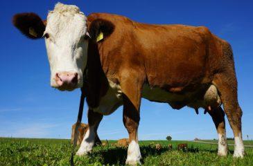 Vaca fugitiva