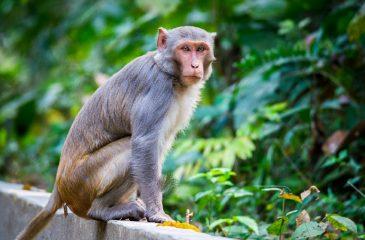 Monos india covid referencial