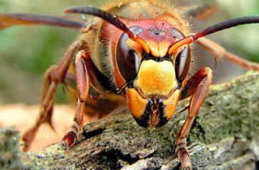 Avispón Murder Hornet web