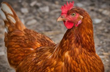 gallina huevos verdes web