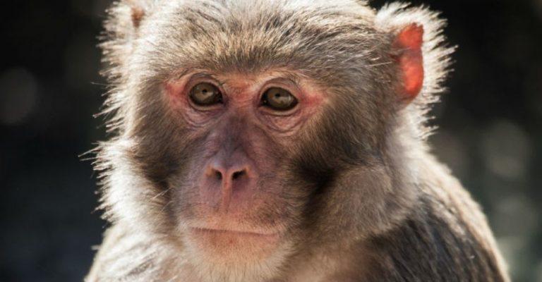 Un mono alcohólico mata a un hombre y hiere a otras 250 personas en la India
