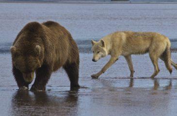 Osos lobos en alaska trump
