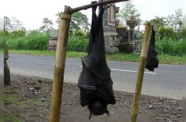 Murciélago gigante web