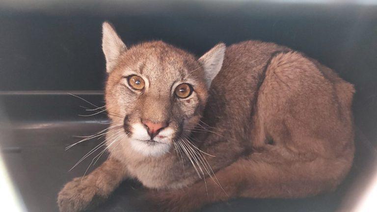 Puma capturado web