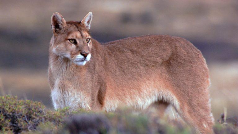 Puma referencial