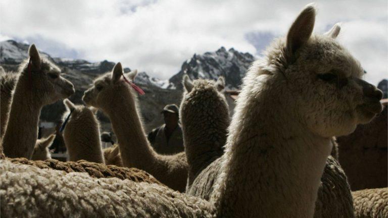 Alpacas Covid 19